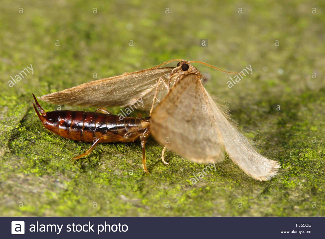 winter moth, small winter moth (Operophtera brumata, Cheimatobia brumata), earwig feeds male winter moth, Germany - Stock Image