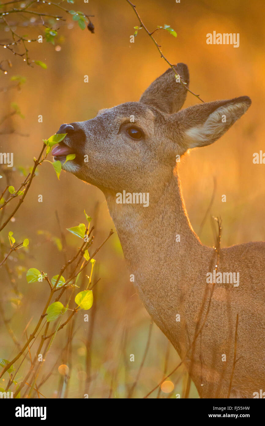 roe deer (Capreolus capreolus), feeding doe, portrait, Germany, Brandenburg - Stock Image