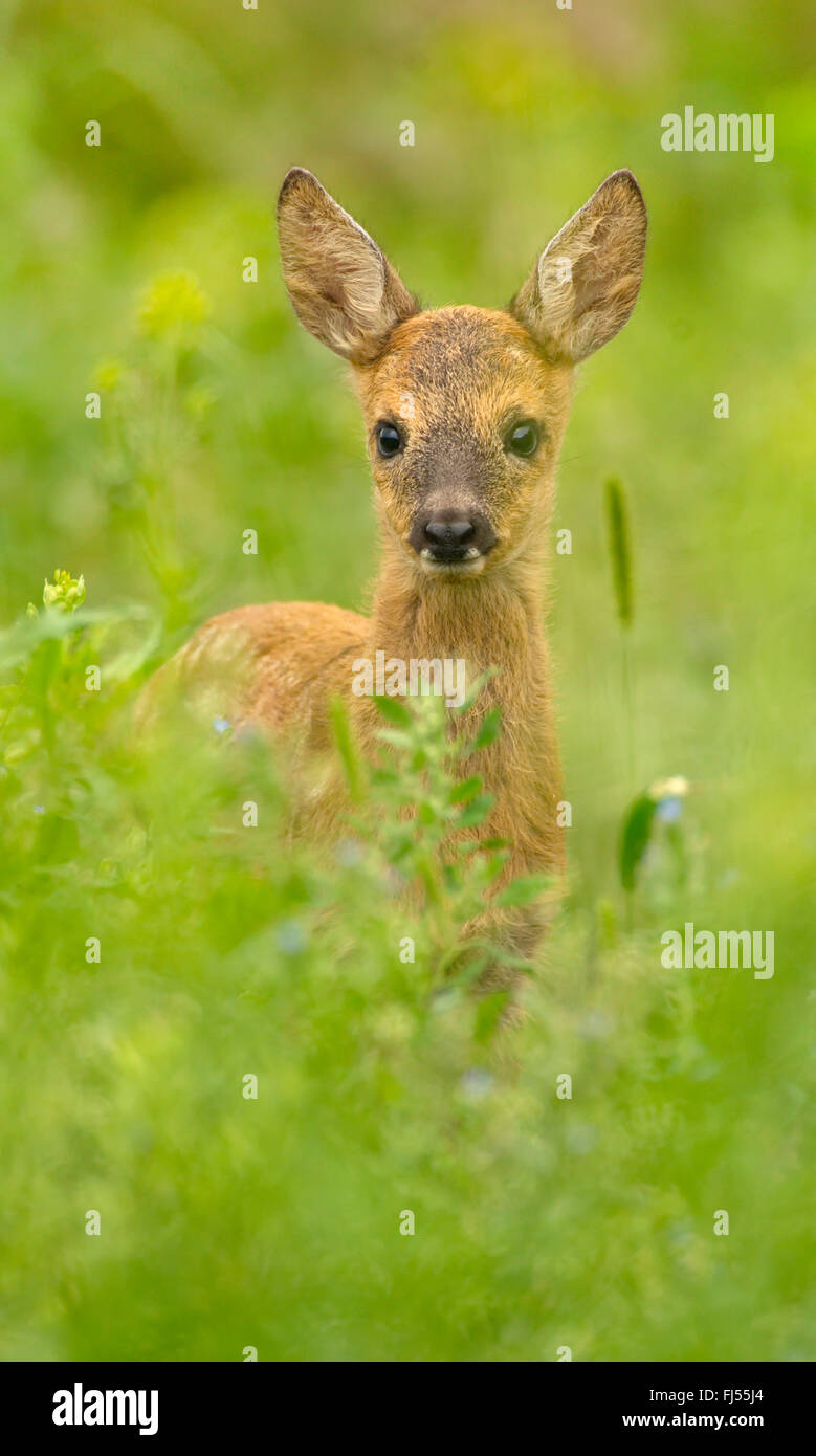 roe deer (Capreolus capreolus), fawn in a meadow, Germany, Brandenburg - Stock Image