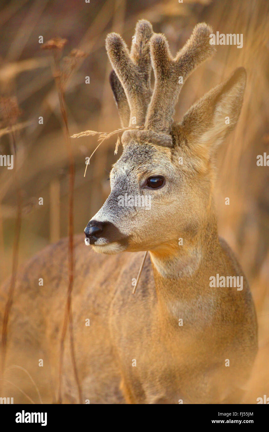 roe deer (Capreolus capreolus), buck, horns with velvet, Germany, Brandenburg - Stock Image