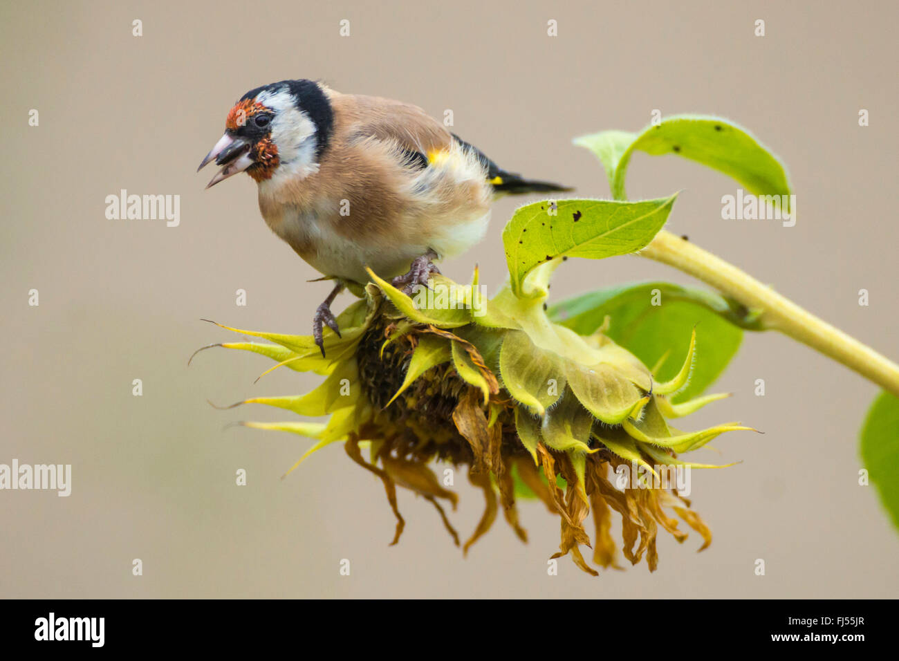 Eurasian goldfinch (Carduelis carduelis), sitting on a withered sunflower and eatting, side view, Germany, Brandenburg Stock Photo