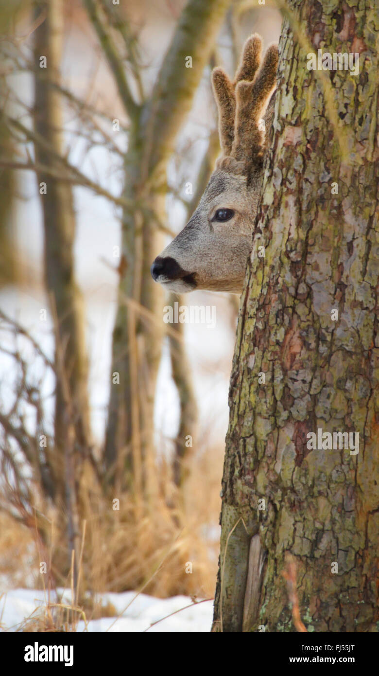 roe deer (Capreolus capreolus), buck peers behind a tree trunk, Germany, Brandenburg - Stock Image