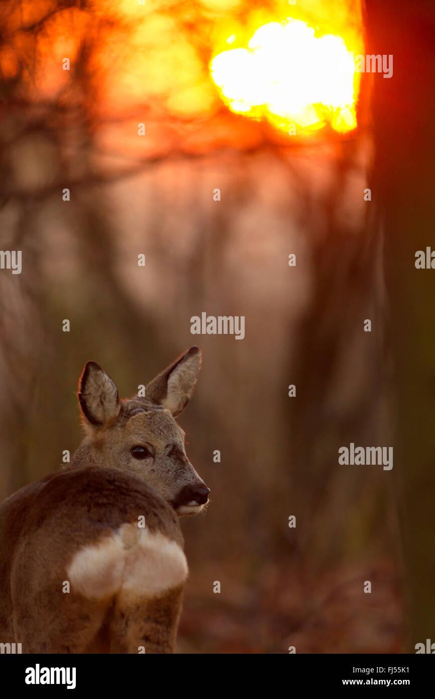 roe deer (Capreolus capreolus), in the evening light, Germany, Brandenburg - Stock Image