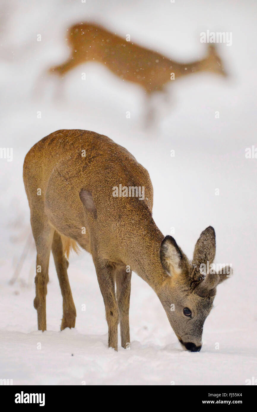 roe deer (Capreolus capreolus), buck on the feed in snow, Germany, Brandenburg - Stock Image