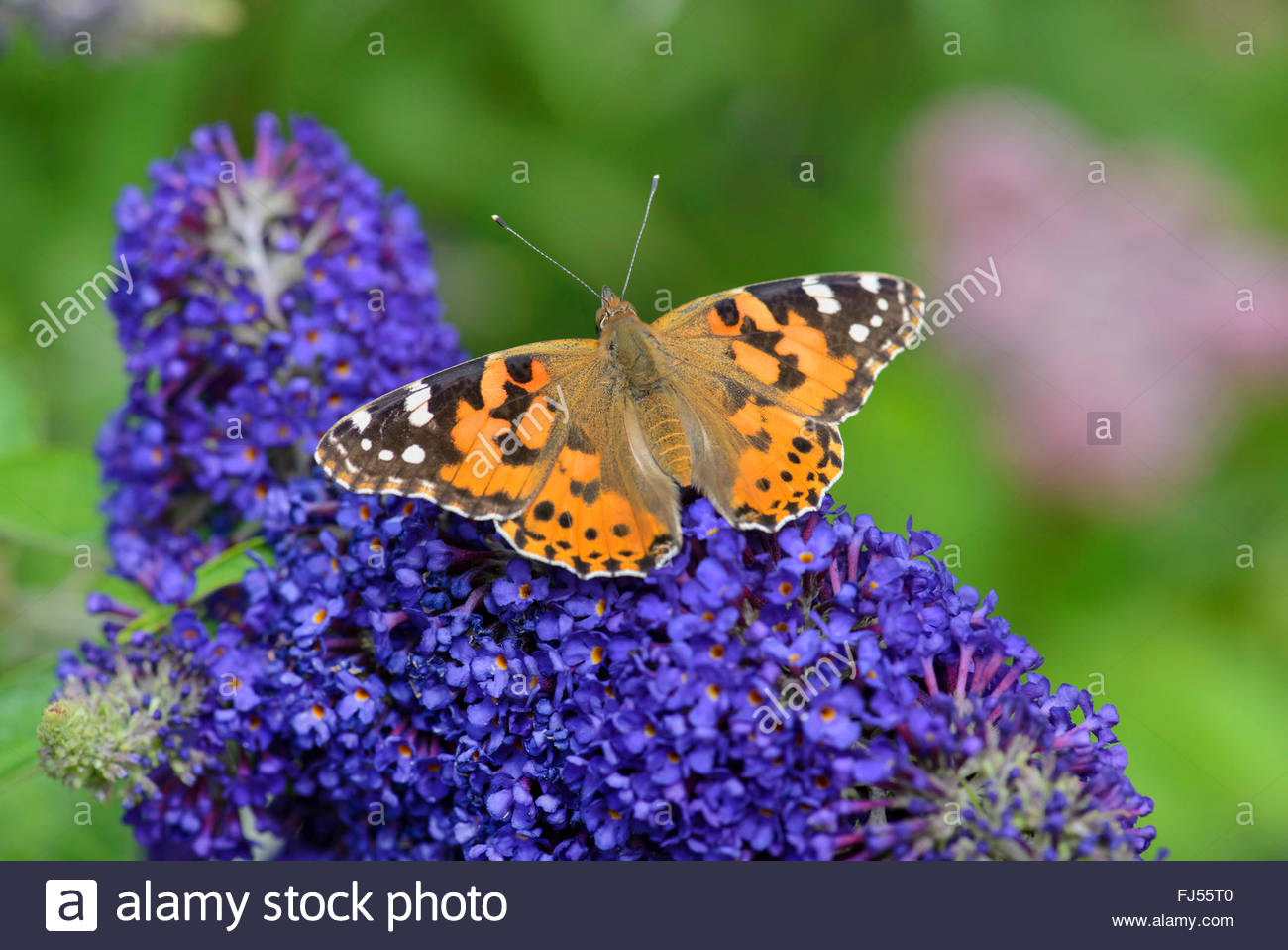 Painted lady (Cynthia cardui, Vanessa cardui, Pyrameis cardui), on sommer lilac, view from above - Stock Image