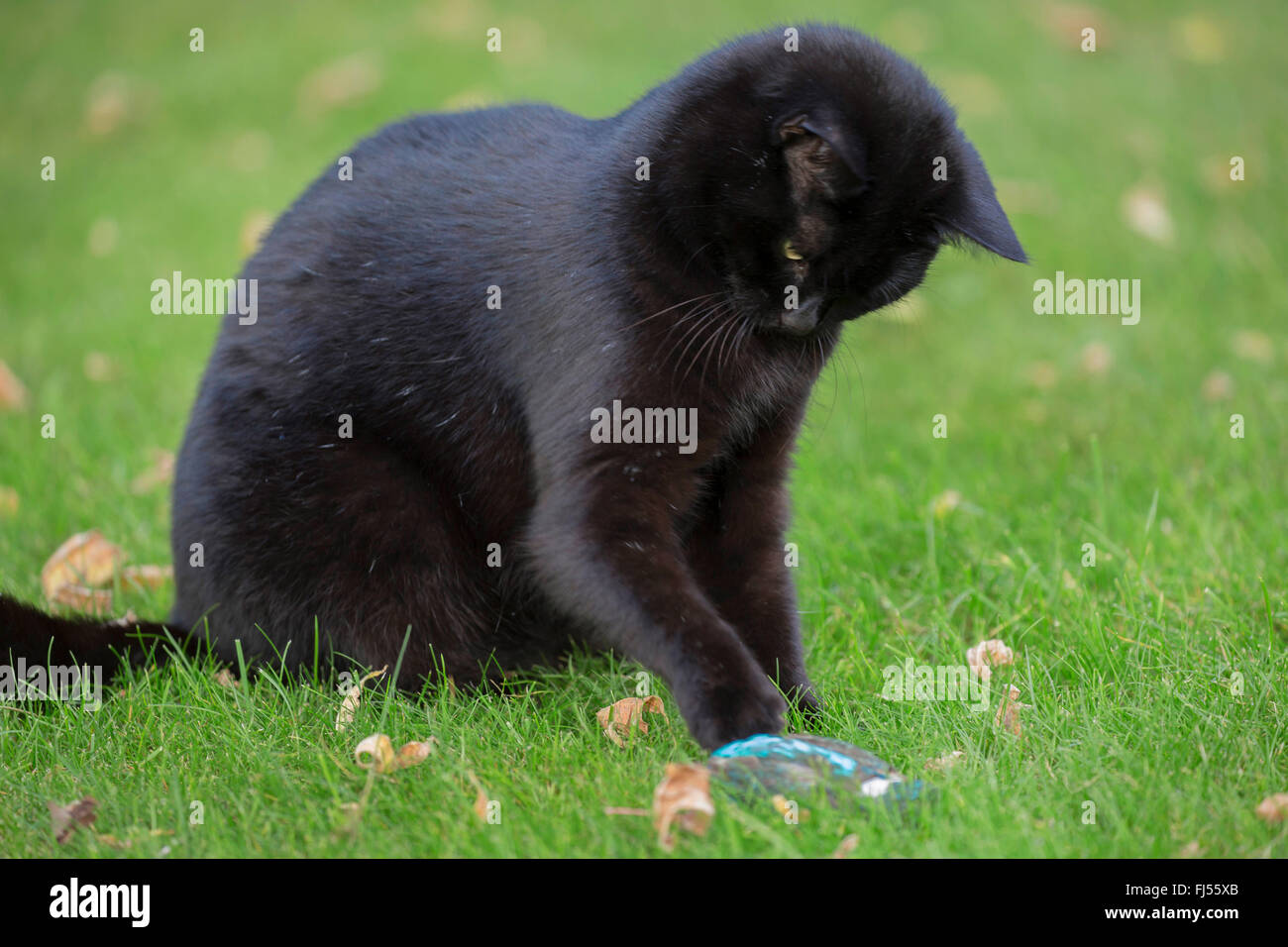 domestic cat, house cat (Felis silvestris f. catus), plays with caught kingfisher, Germany, Bavaria, Niederbayern, - Stock Image