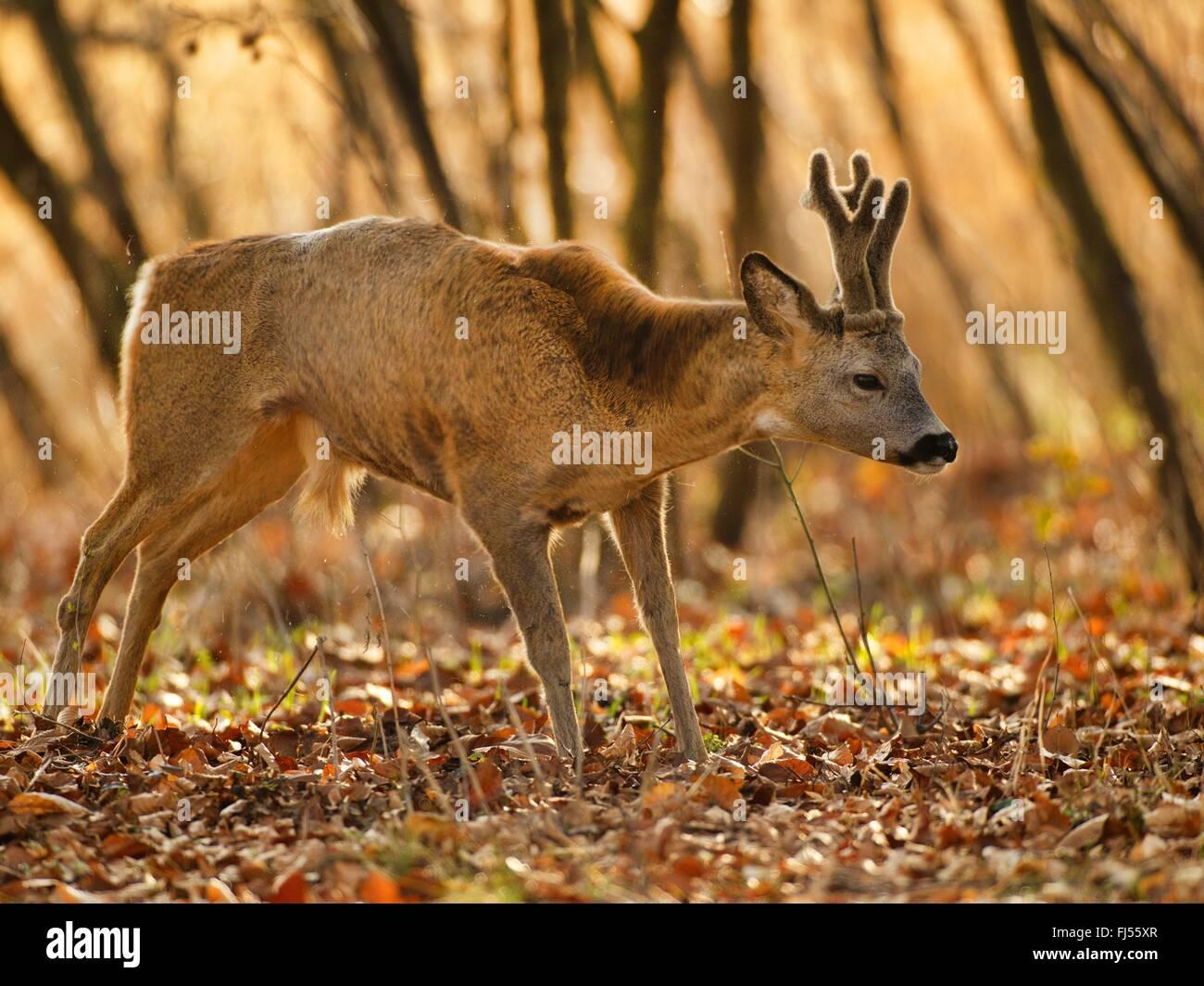 roe deer (Capreolus capreolus), roe buck standing in autumn foliage, antler with velvet, Germany, Brandenburg - Stock Image