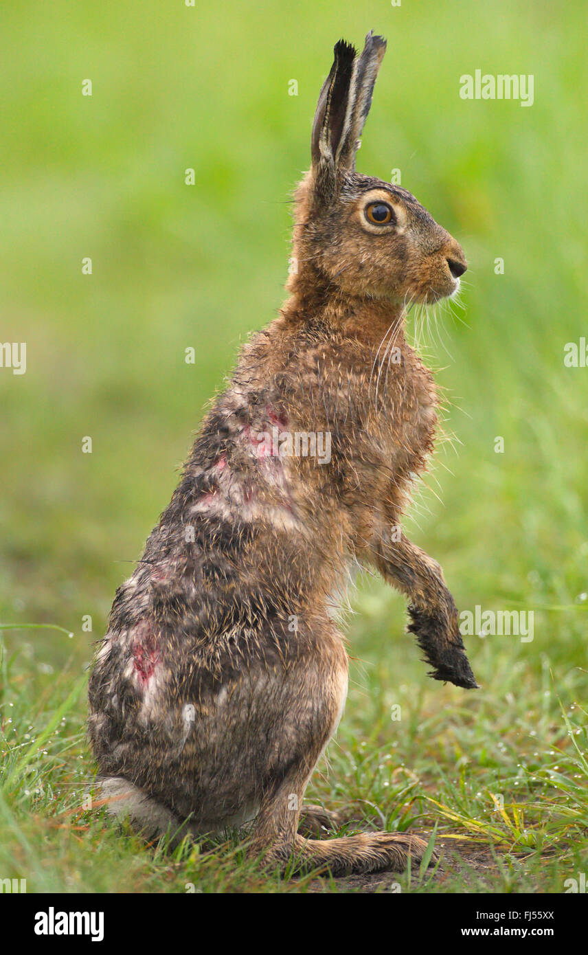 European hare, Brown hare (Lepus europaeus), wet hare stands upright, Germany, Brandenburg - Stock Image