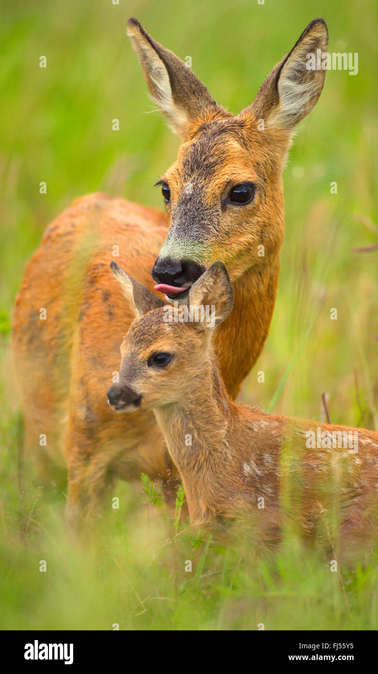 roe deer (Capreolus capreolus), doe licking caringly the head of its fawn, Germany, Brandenburg - Stock Image