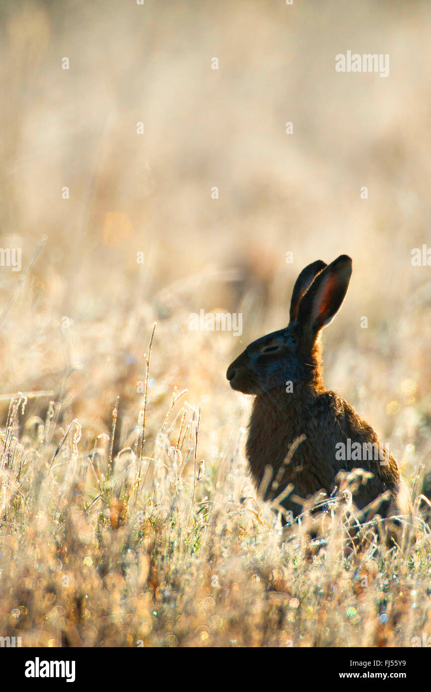 European hare, Brown hare (Lepus europaeus), sits in a meadow in backlight, Germany, Brandenburg - Stock Image
