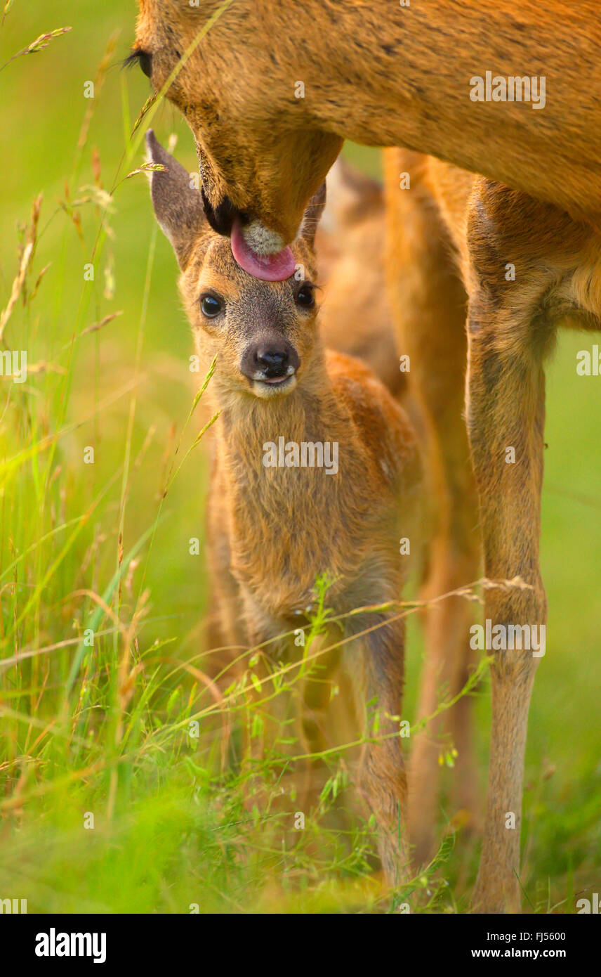 roe deer (Capreolus capreolus), doe licking caringly the head of its fawn, Germany, Brandenburg Stock Photo