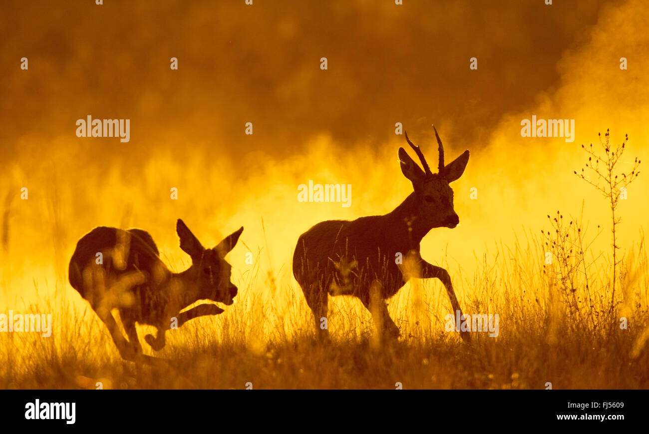 roe deer (Capreolus capreolus), roe buck and doe escaping in the evening light, Germany, Brandenburg - Stock Image