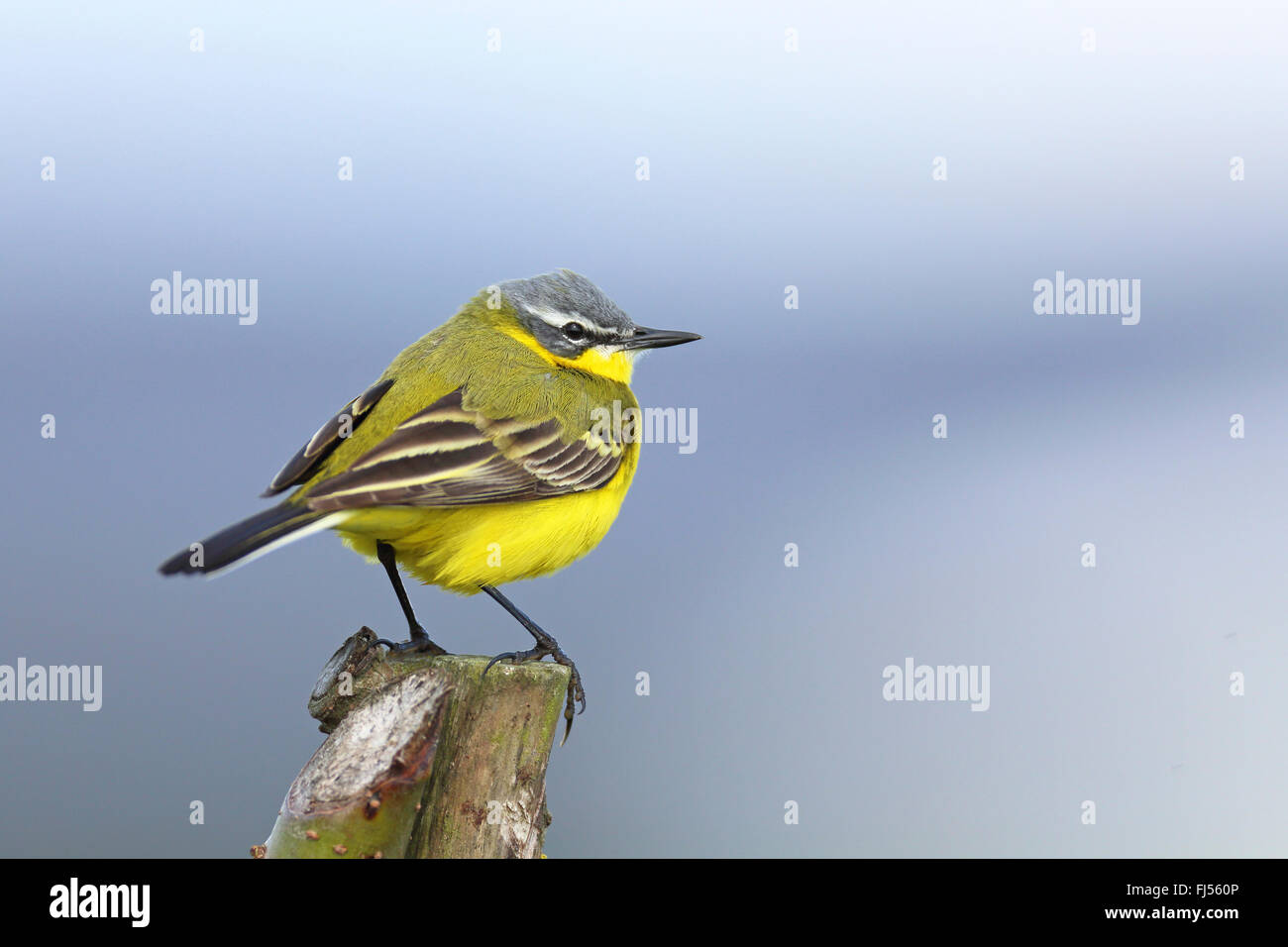 Yellow wagtail (Motacilla flava), male sitting on a fence post, Netherlands, Frisia - Stock Image