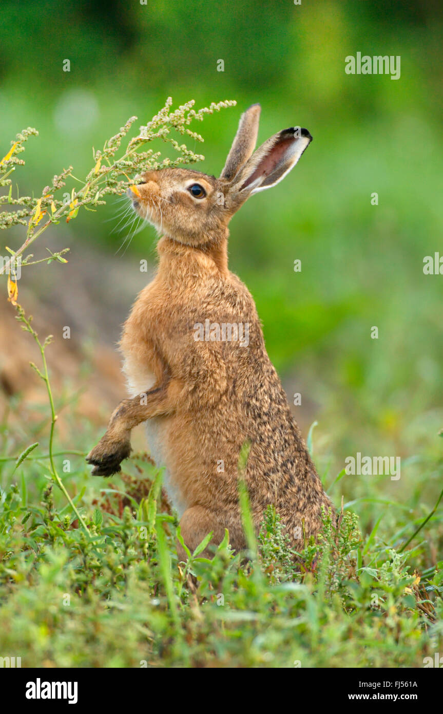 European hare, Brown hare (Lepus europaeus), on the feed in a meadow, Germany, Brandenburg - Stock Image