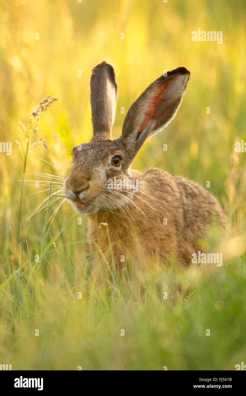 European hare, Brown hare (Lepus europaeus), sits in a meadow, Germany, Brandenburg - Stock Image