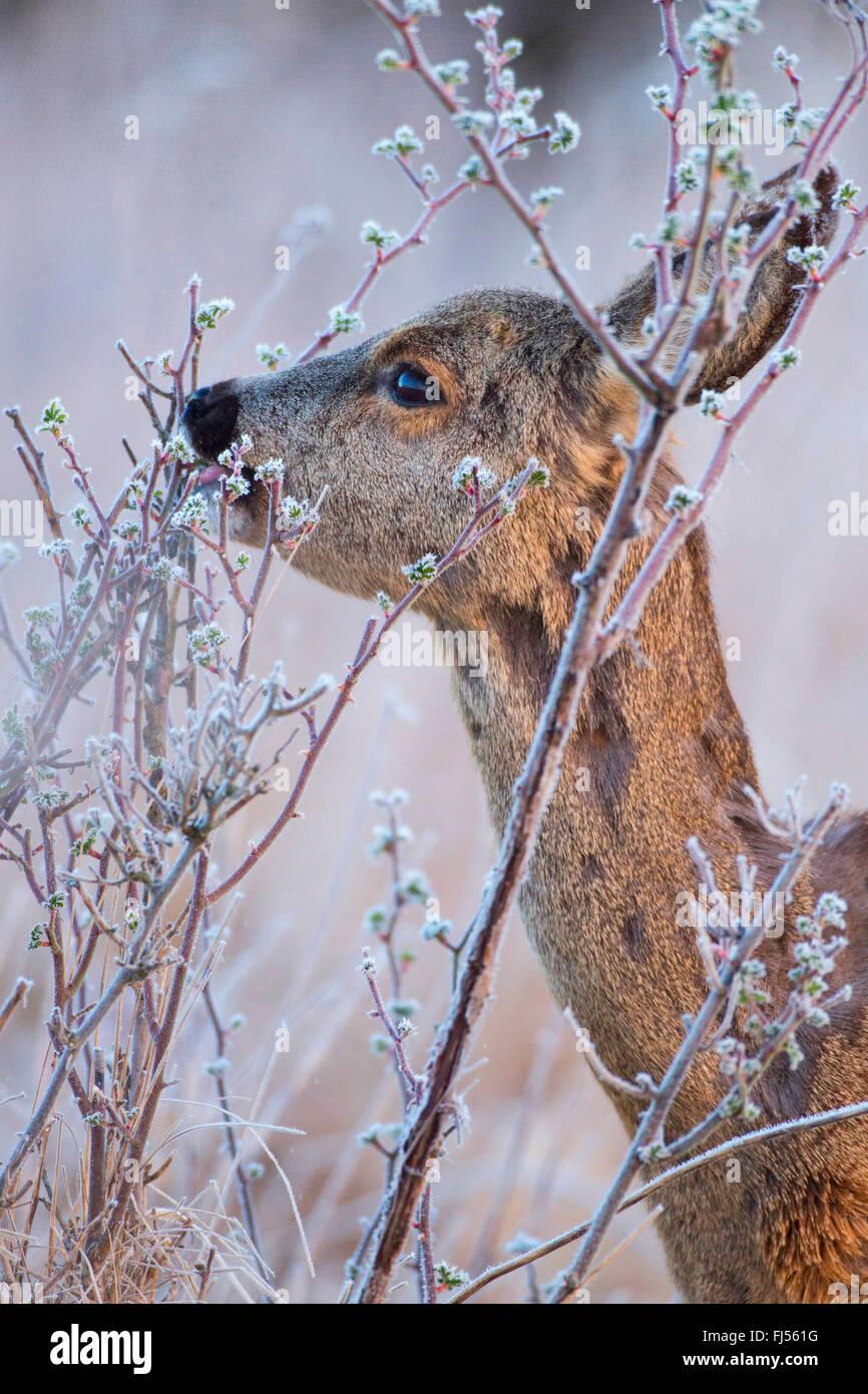 roe deer (Capreolus capreolus), doe feeds in winter, Germany, Brandenburg - Stock Image