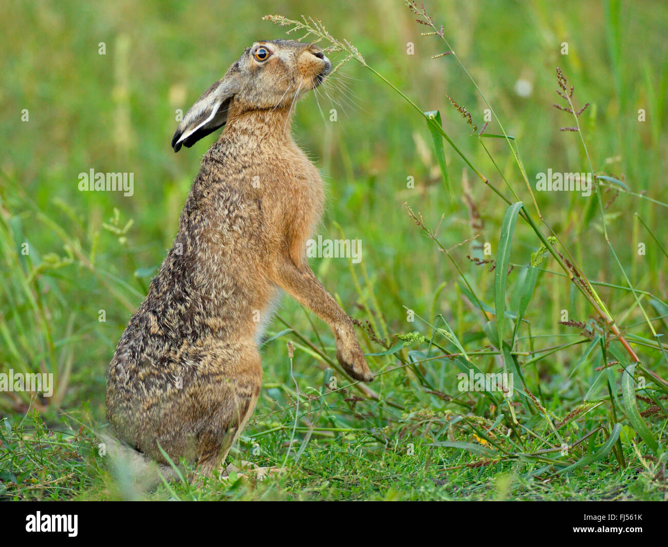 European hare, Brown hare (Lepus europaeus), feeds on a grass ear standing upright, Germany, Brandenburg - Stock Image