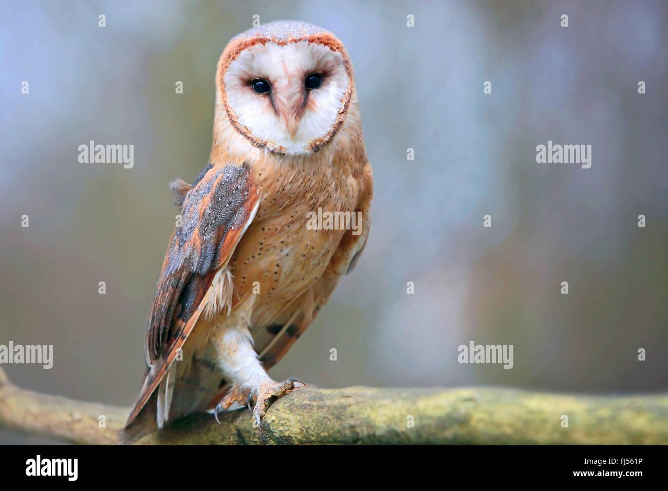 Barn owl (Tyto alba), on a branch, Germany, Bavaria, Niederbayern, Lower Bavaria - Stock Image