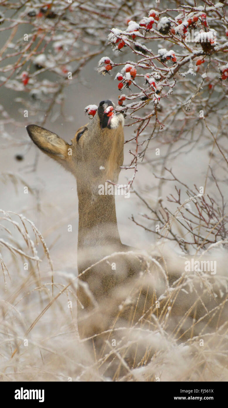 roe deer (Capreolus capreolus), doe feeds rose-hips in winter, Germany, Brandenburg - Stock Image