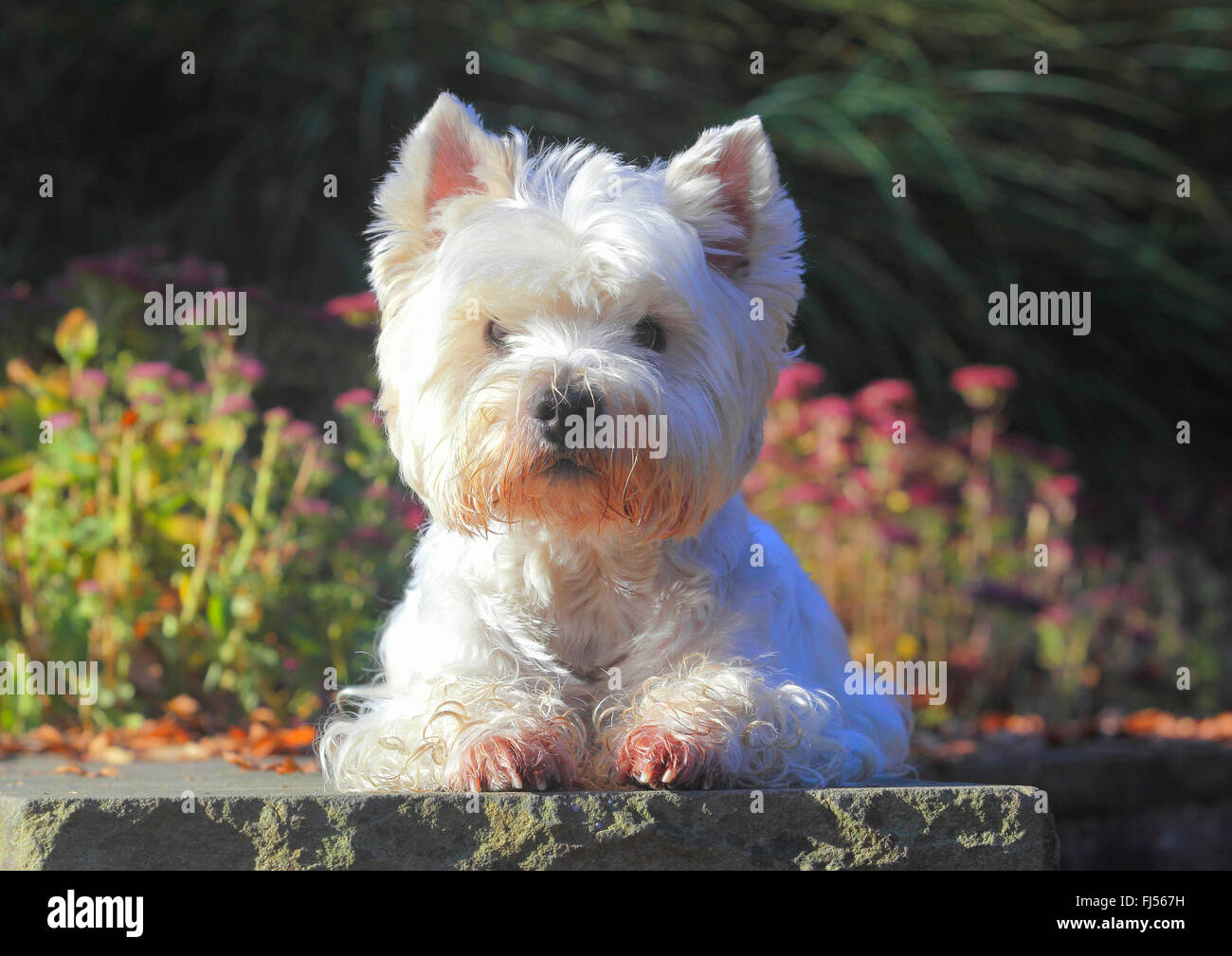 West Highland White Terrier, Westie (Canis lupus f. familiaris), nine years old male dog lying in a park on a wall, - Stock Image