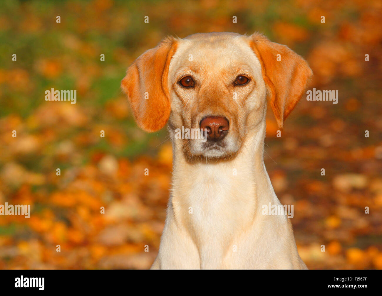 mixed breed dog (Canis lupus f. familiaris), Labrador Magyar Vizsla mixed breed dog sitting in autumn foliage, Germany - Stock Image