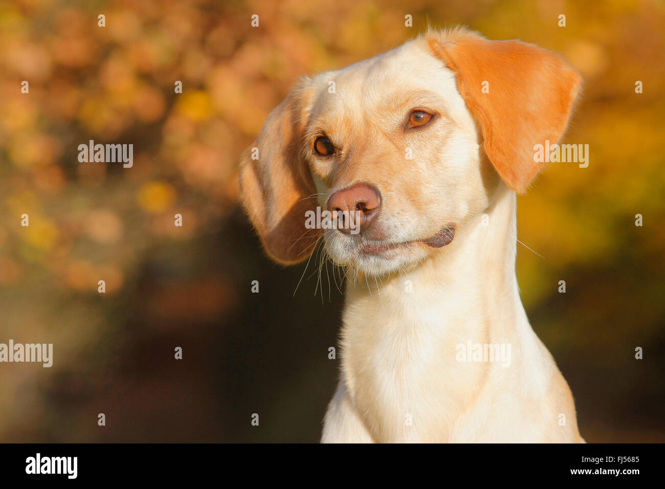 mixed breed dog (Canis lupus f. familiaris), Labrador Magyar Vizsla mixed breed dog in autumn, portrait, Germany - Stock Image