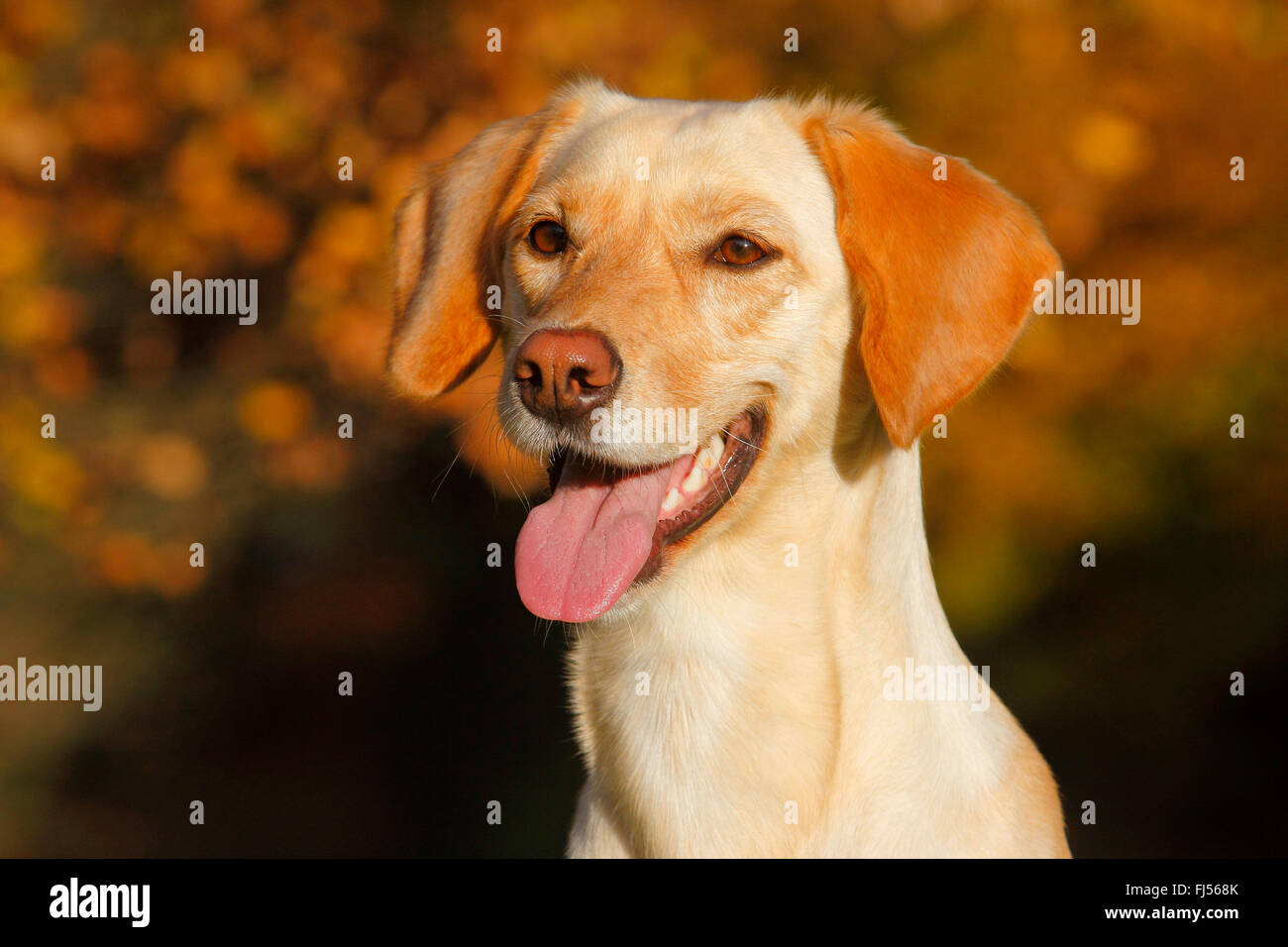 mixed breed dog (Canis lupus f. familiaris), Labrador Magyar Vizsla mixed breed dog with tongue hanging out, portrait, - Stock Image