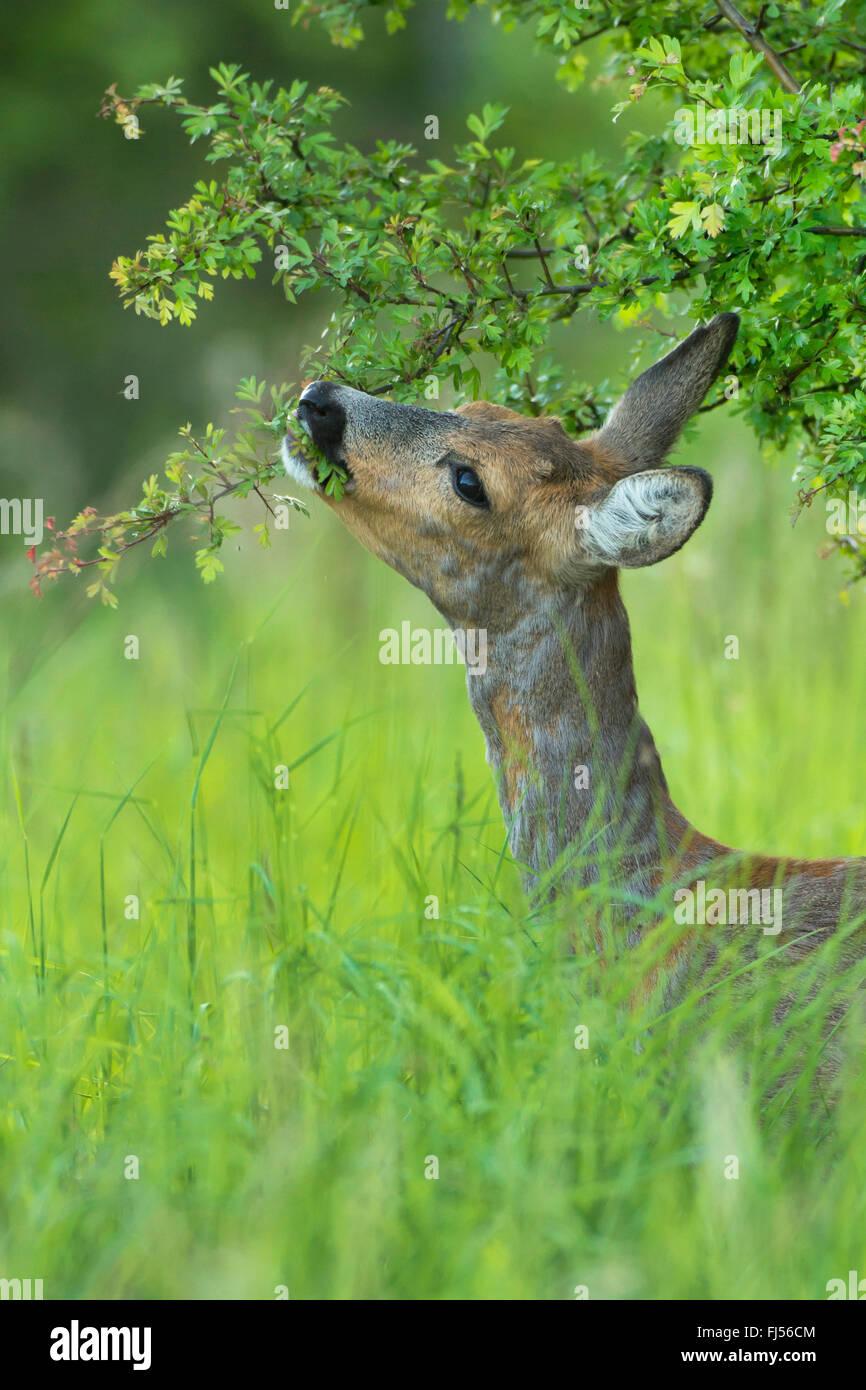roe deer (Capreolus capreolus), doe feeds on hawthorn, Germany, Brandenburg - Stock Image