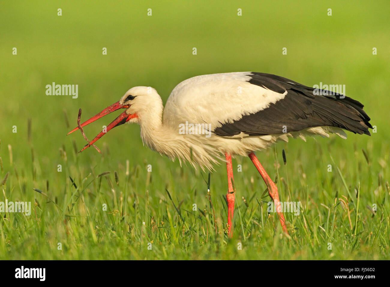 white stork (Ciconia ciconia), feeds a caught slow worm, Germany, Brandenburg Stock Photo