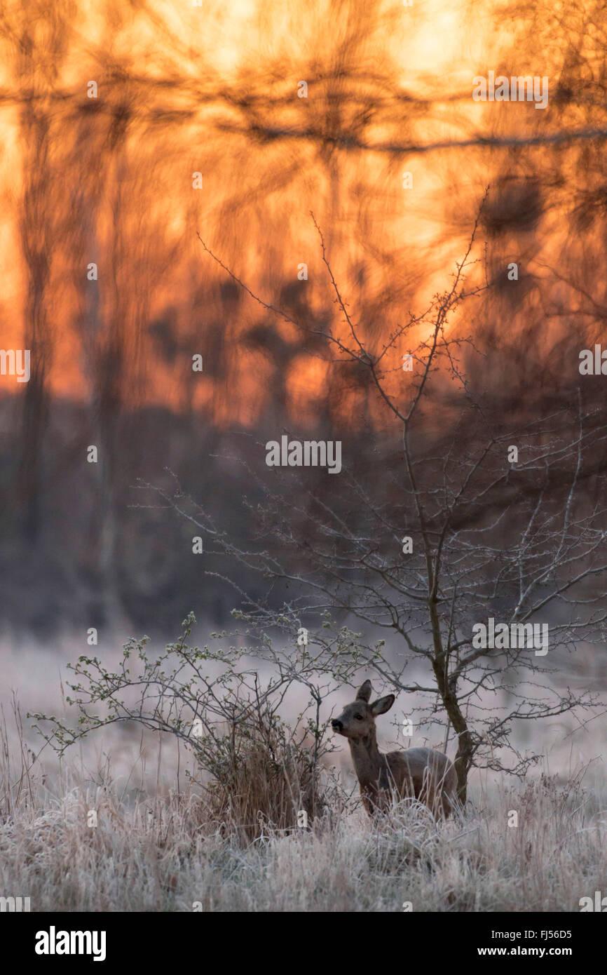 roe deer (Capreolus capreolus), doe in winter, Germany, Brandenburg - Stock Image