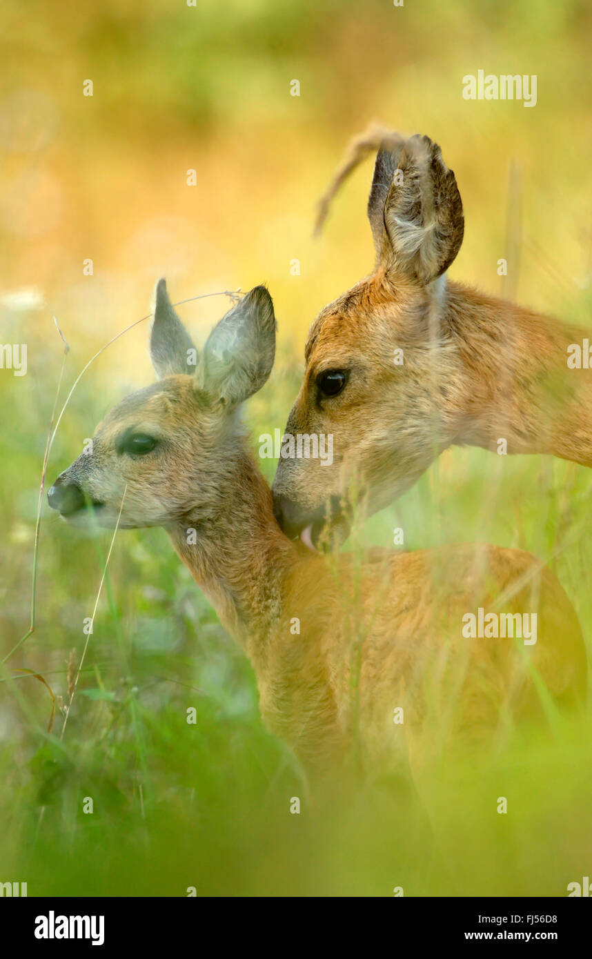 roe deer (Capreolus capreolus), doe licking caringly the neck of its fawn, side view, Germany, Brandenburg - Stock Image