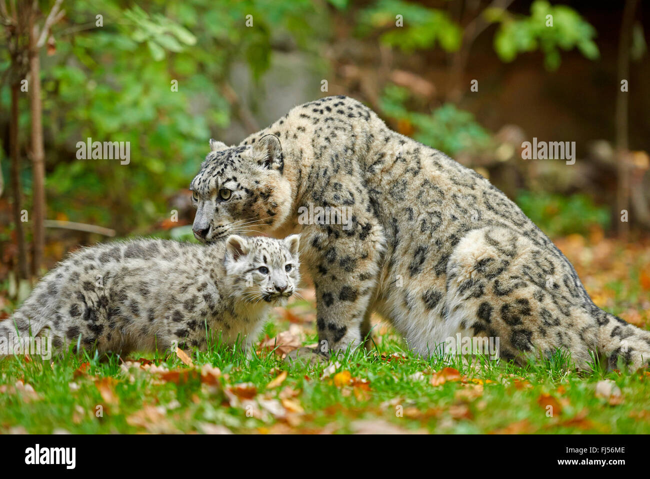 snow leopard (Uncia uncia, Panthera uncia), leopardesses with one youngster in a meadow - Stock Image