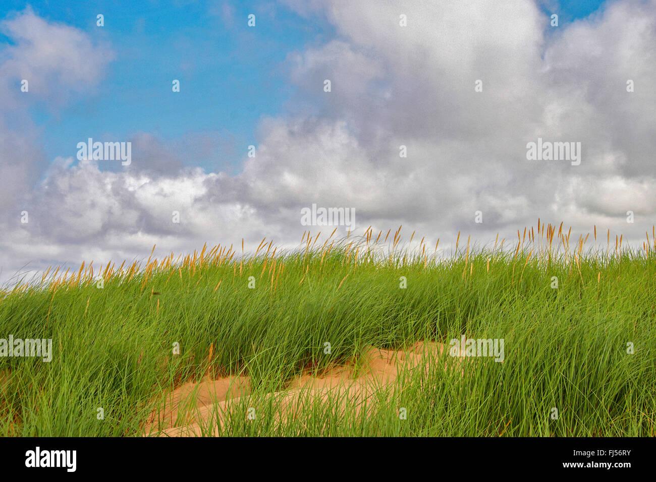 beach grass, European beachgrass, marram grass, psamma, sea sand-reed (Ammophila arenaria), dune with beach grass, - Stock Image