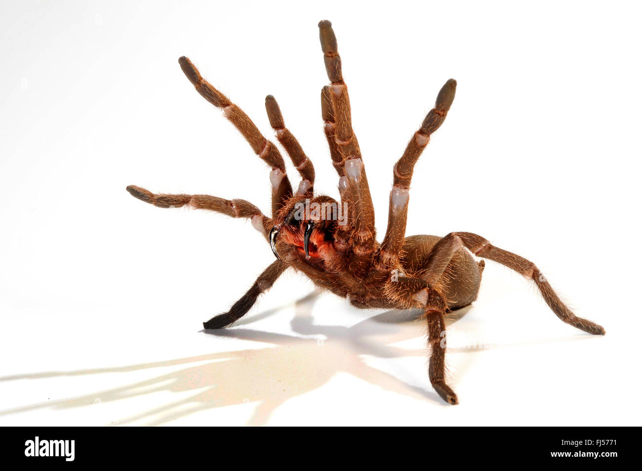 tarantula (Hysterocrates spec.), in defence posture with extended cheliceras, cut-out, Cameroon - Stock Image