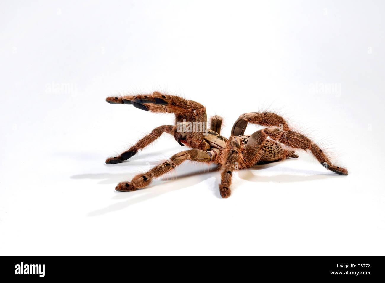Togo Starburst Baboon, Ornament Tarantula (Heteroscodra maculata), in defense posture with extendes cheliceres, - Stock Image