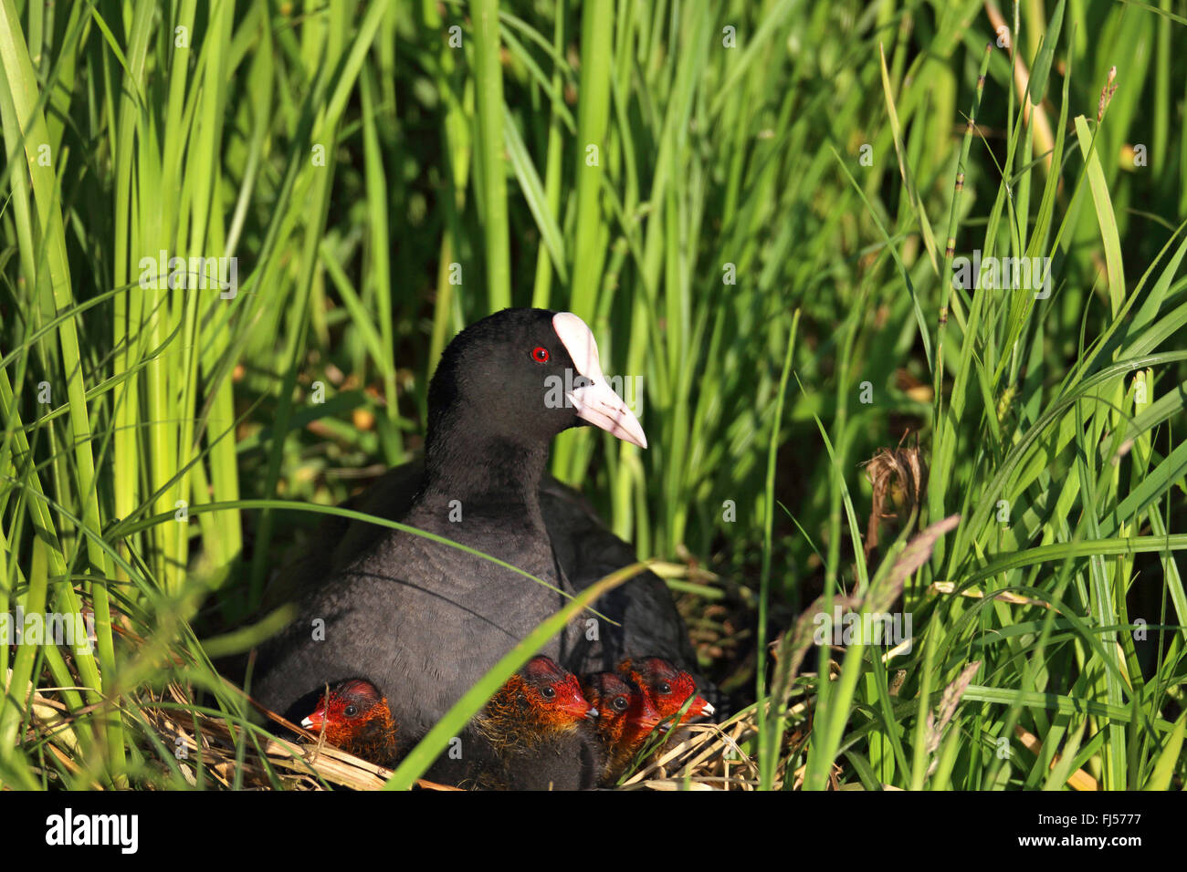 black coot (Fulica atra), female with fledglings in the nest, Netherlands, Eempolder - Stock Image