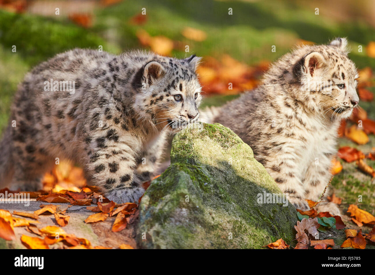 snow leopard (Uncia uncia, Panthera uncia), two cubs in autumn Stock Photo