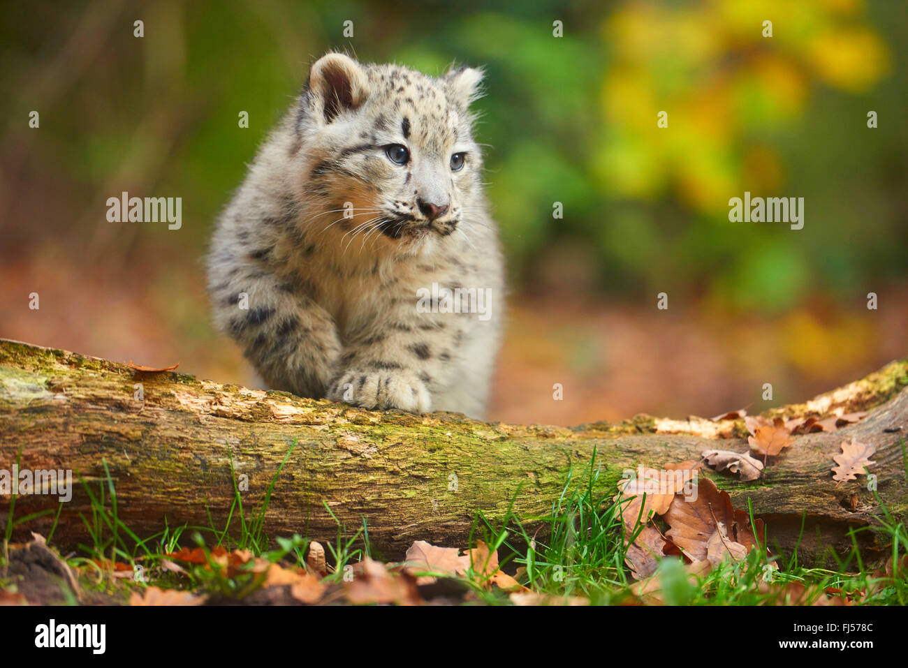 snow leopard (Uncia uncia, Panthera uncia), youngster climbing over a tree trunk - Stock Image