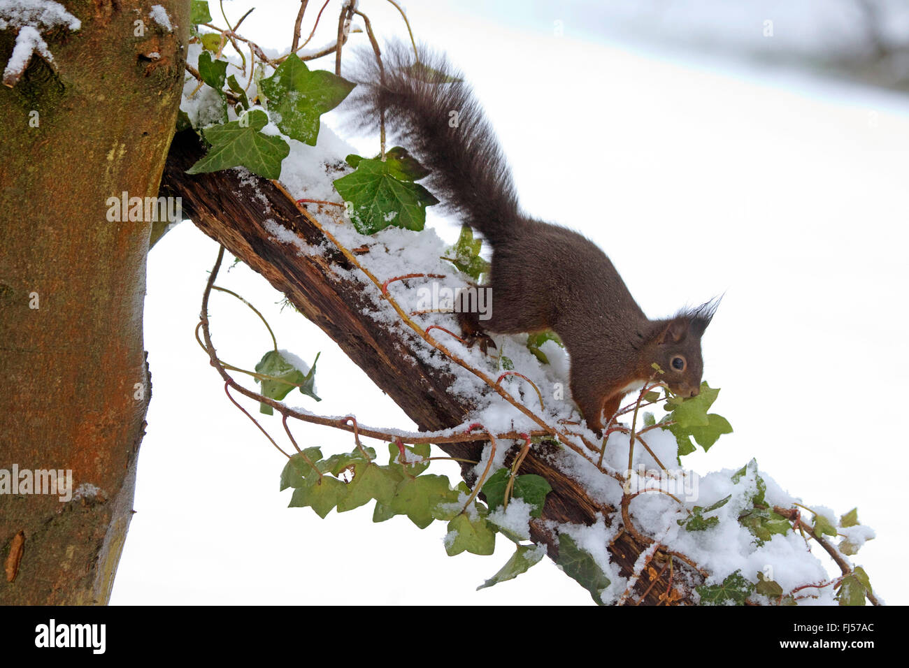 European red squirrel, Eurasian red squirrel (Sciurus vulgaris), searching food by fresh snow on a branch, Germany, Stock Photo