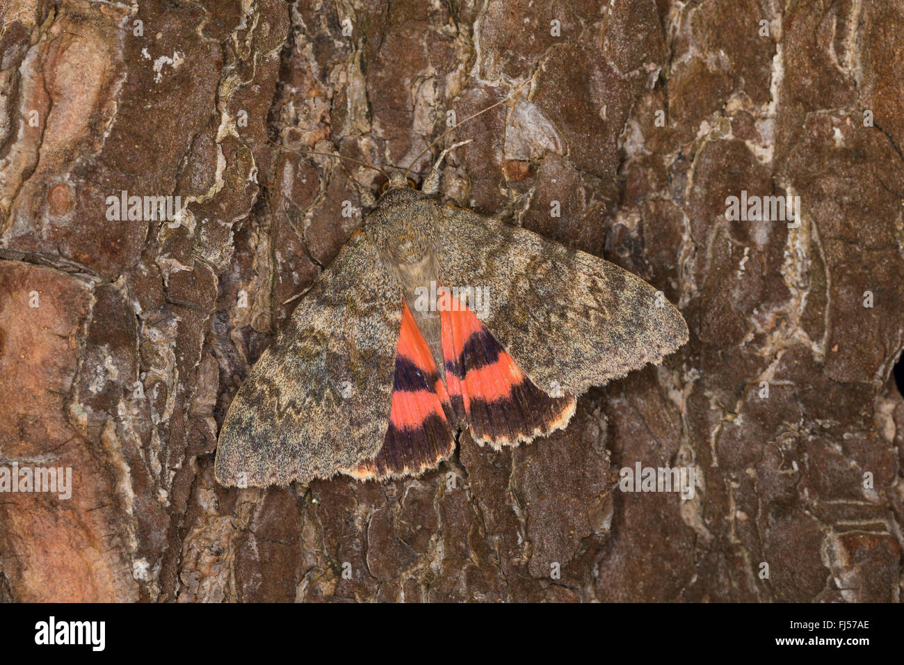 poplar underwing (Catocala elocata), on bark, view from above, Germany - Stock Image