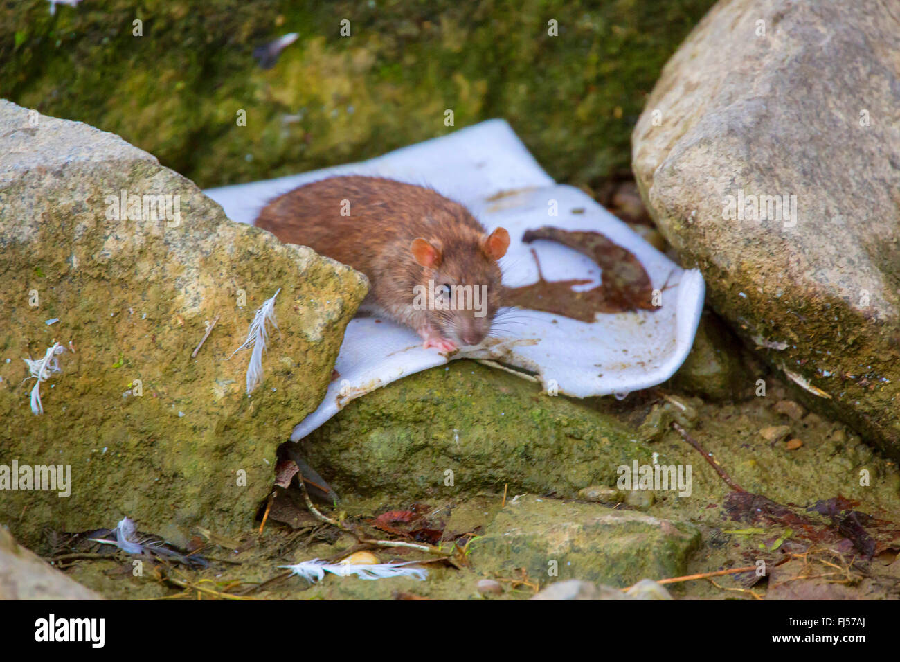 Brown rat, Common brown rat, Norway rat, Common rat (Rattus norvegicus), with only one eye searching food, Germany, - Stock Image