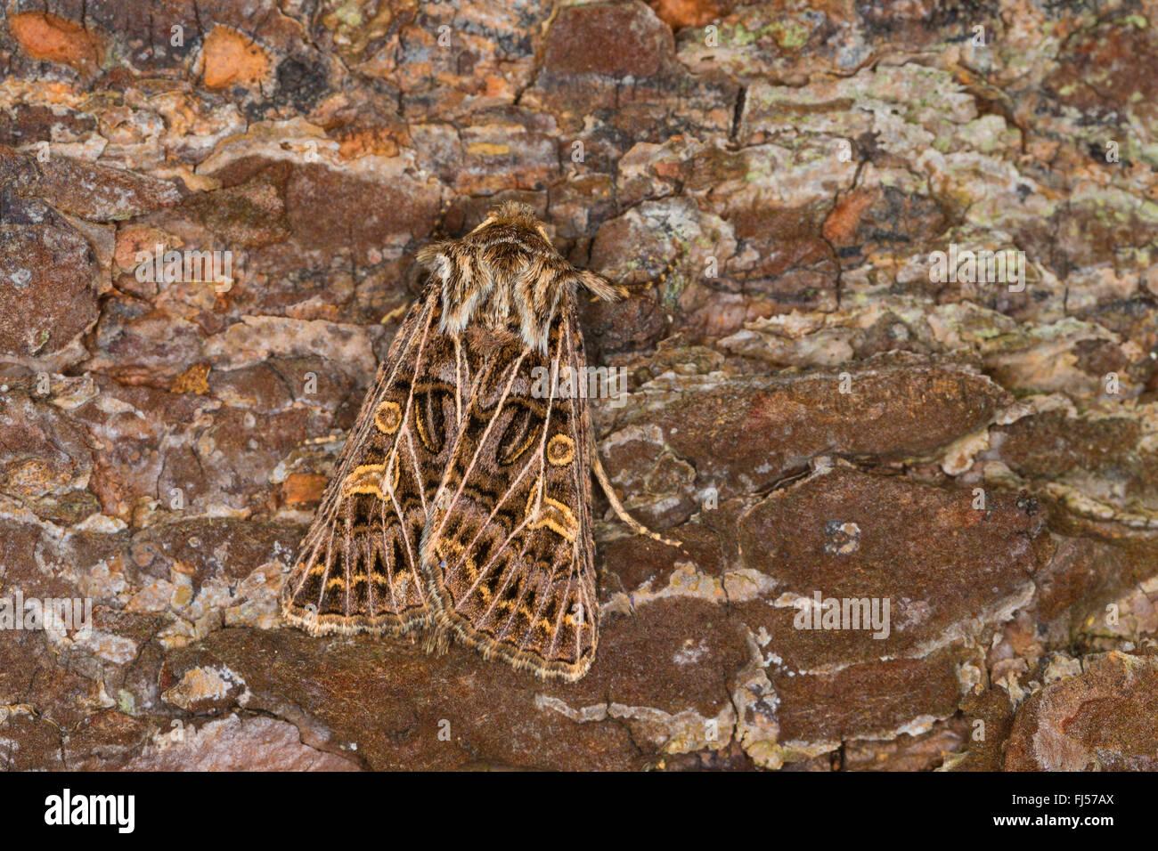 Feathered Gothic (Tholera decimalis, Epineuronia popularis), female, Germany - Stock Image