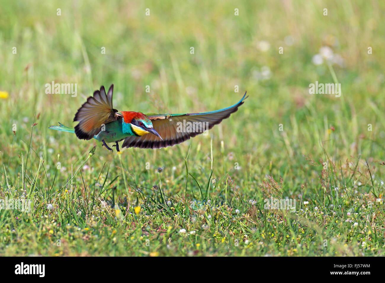 European bee eater (Merops apiaster), flying, landing on grass, Greece, Evrosdelta - Stock Image