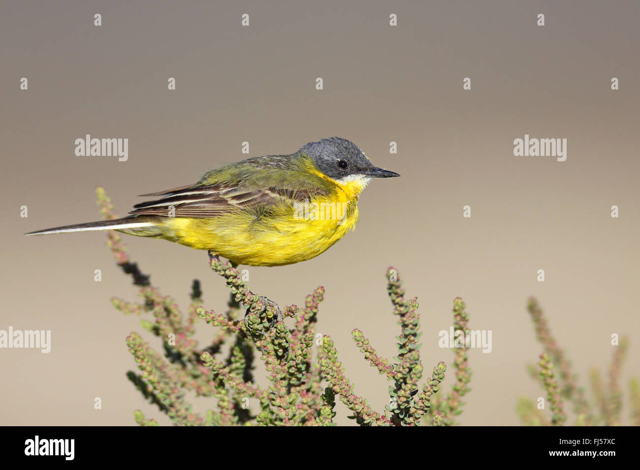 Ashy-headed Wagtail, Yellow wagtail (Motacilla flava cinereocapilla), male sitting on a succulent shrub, France, - Stock Image