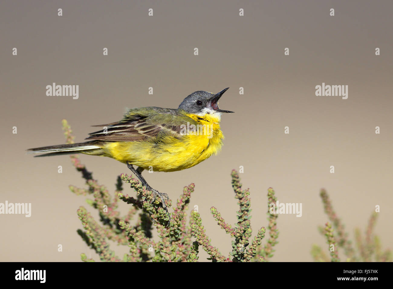 Ashy-headed Wagtail, Yellow wagtail (Motacilla flava cinereocapilla), calling male sitting on a succulent shrub, - Stock Image