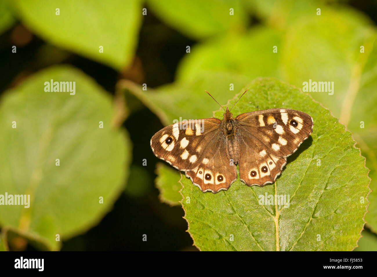 Speckled Wood (Pararge aegeria), sitting on a leaf, Germany, Rhineland-Palatinate - Stock Image