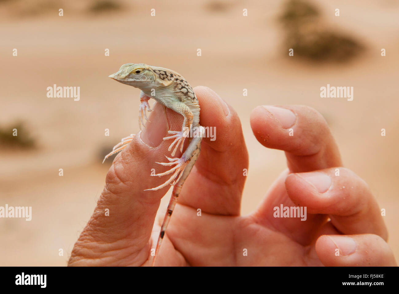 lizard holding in a hand during a desert tour, Namibia, Dorob National Park, Swakopmund Stock Photo