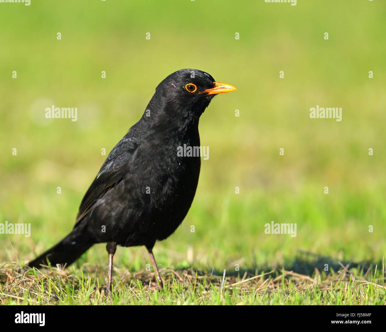 blackbird (Turdus merula), male stands on grass, Netherlands, Frisia - Stock Image