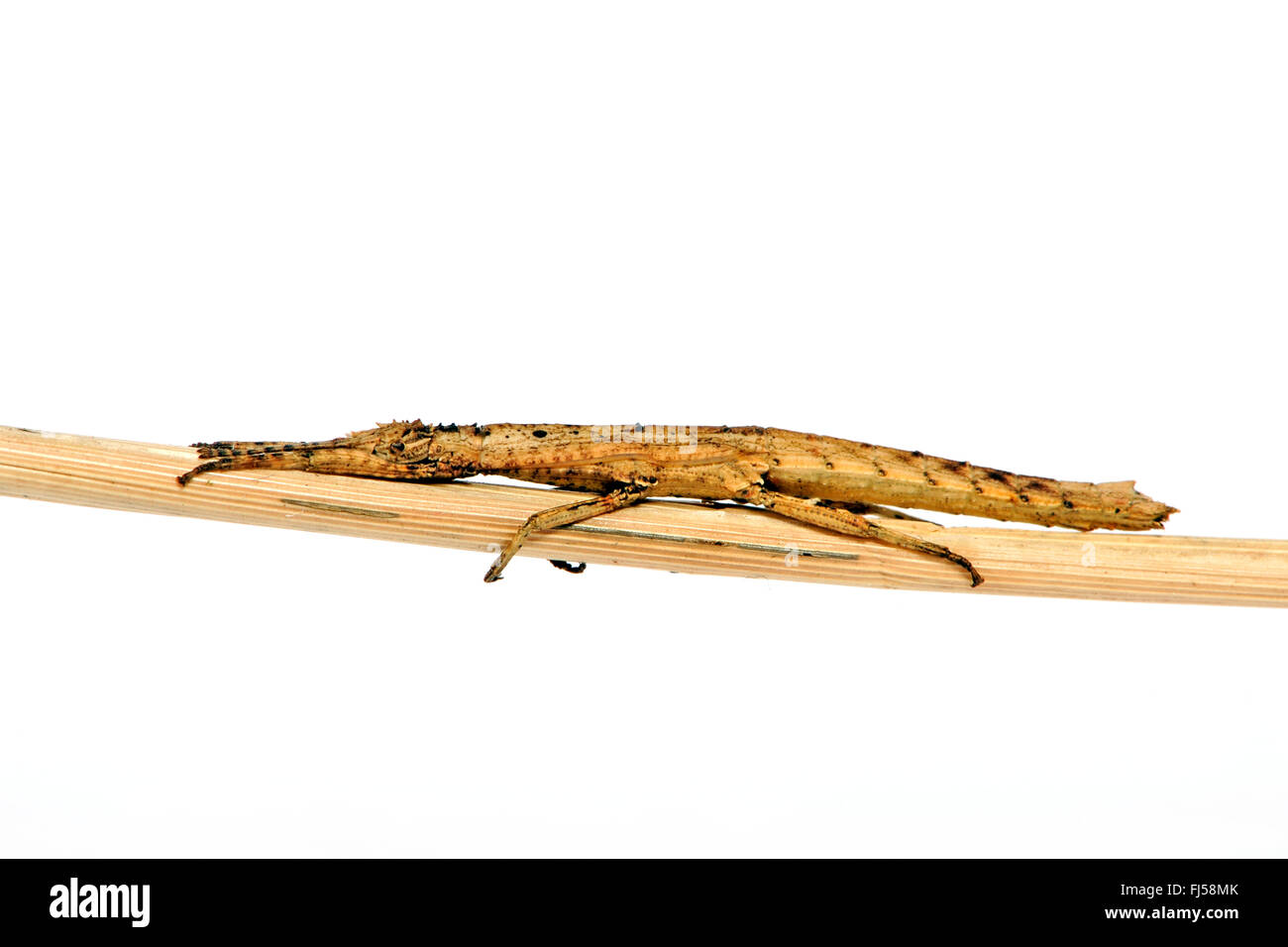 Small Cigar Stick Insect (Orestes mouhotii, Datames mouhotii, Pylaemenes mouhotii), on a twig, cut-out - Stock Image