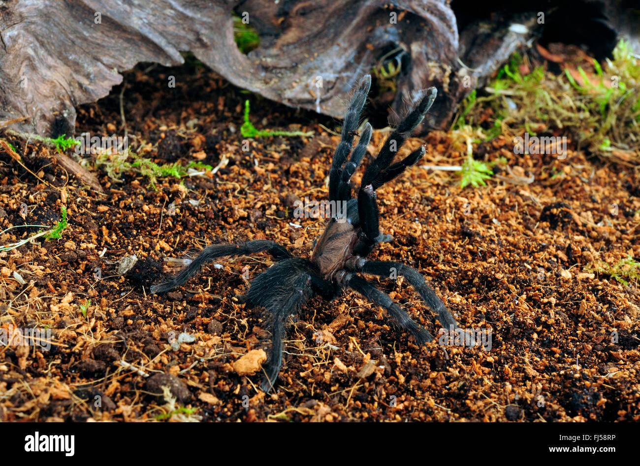 Filipino Gray Leg (Selenocosmia peerboomi), endemic birdspider from the Philippines in defense posture, Philippines, - Stock Image